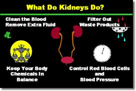 What do kidney's do graphic